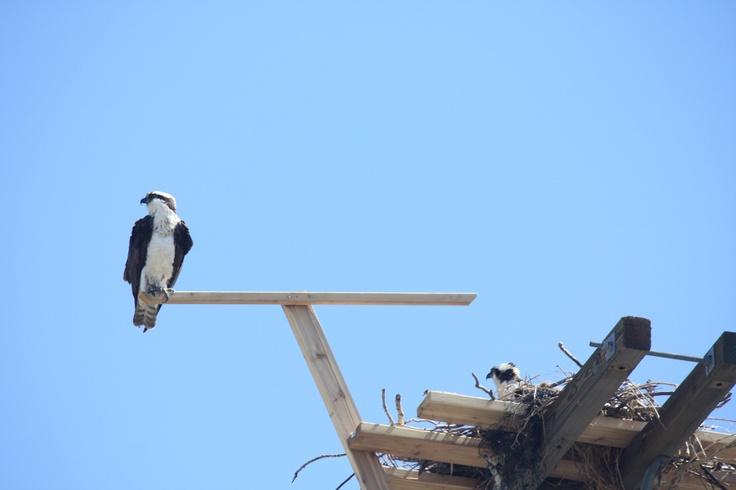 Watching guard of Mama Osprey