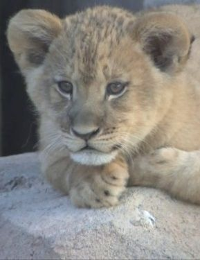 Słodsze niż miód. Cały świat miał okazję zobaczyć młode lwy z Denver - http://tvnmeteo.tvn24.pl/informacje-pogoda/prognoza,45/slodsze-niz-miod-caly-swiat-mial-okazje-zobaczyc-mlode-lwy-z-denver,186651,1,0.html