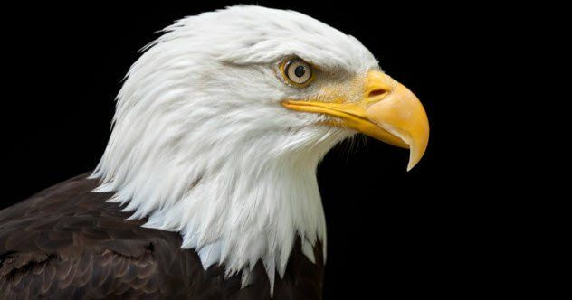 Eagles are known worldwide as majestic aerial predators. Their hunting expertise and legendary awe have earned them both respect and fear from humanity. Be