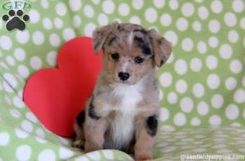 Spot, Welsh Corgi Mix puppy for sale from Kinzers, PA.