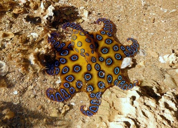 Синекольчатый осьминог - Путешествуем вместе