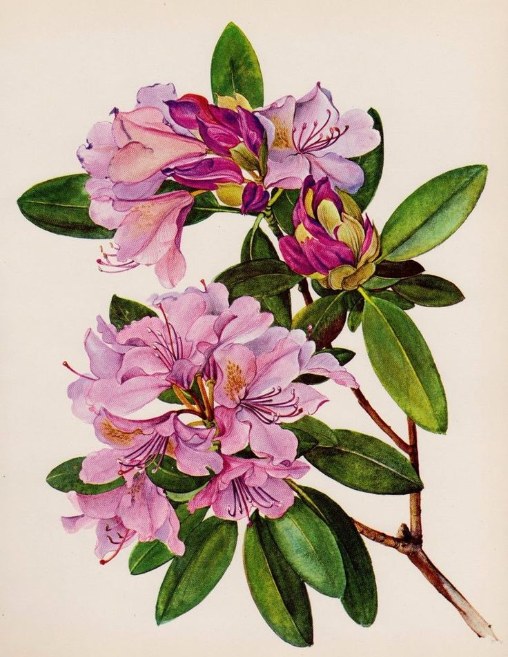 9 best rhododendron images on pinterest tattoo ideas botanical prints and botanical illustration. Black Bedroom Furniture Sets. Home Design Ideas