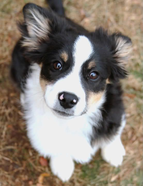 Border Collie/Sheltie mix