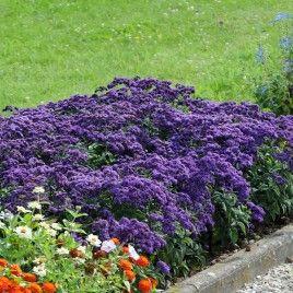 Heliotrope Blue Marine. Plante tapissante, très résistante à la chaleur. L'héliotrope exhale un parfum de vanille et attire les insectes pollinisateurs.