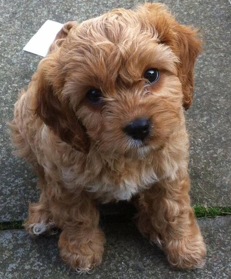 Cavapoo Puppies For Sale North Western Cape South Africa