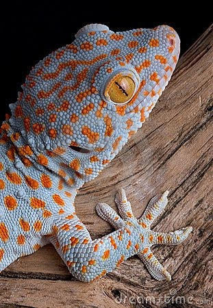 The Tokay Gecko's habitat is Northeast India & Bangladesh throughout Southern Asia.