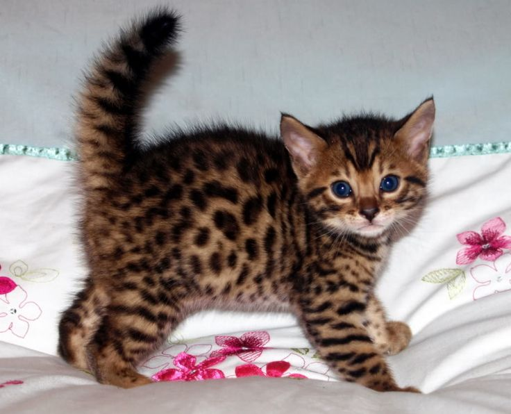 Adorable Bengal kitten with fluffed up tail.