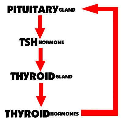 """Hypothyroid basics: The TSH is essentially telling your thyroid to """"release more hormone."""" This is why your TSH rises when your thyroid is underactive. A high TSH means that the pituitary gland is releasing its hormone to try to get the thyroid to respond and produce more thyroid hormone."""