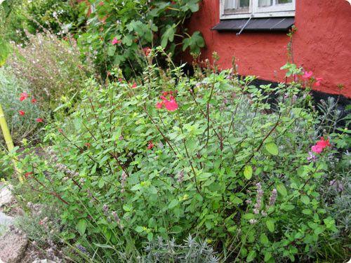 solbærsalvie - passar med betyt prior rose