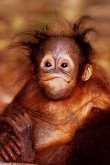 You think you,ve got a bad hair day!   Baby Orangutan Photo