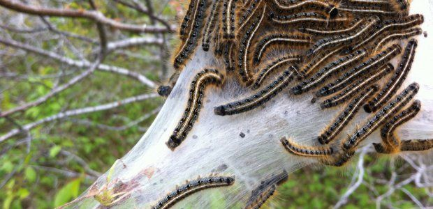 Here are some wondrous facts about the Eastern Tent Caterpillar that may have you thinking twice before torching, spraying, or otherwise eliminating them from your life.
