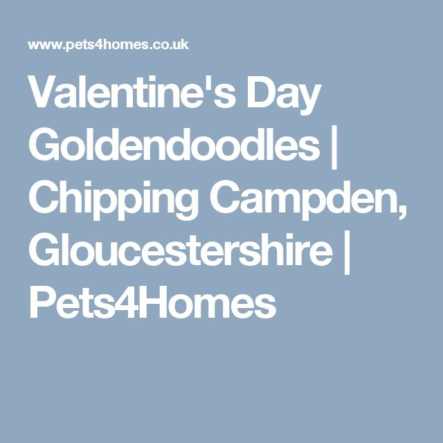Valentine's Day Goldendoodles | Chipping Campden, Gloucestershire | Pets4Homes