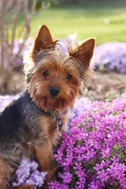 Yorkshire terriers are so cute!