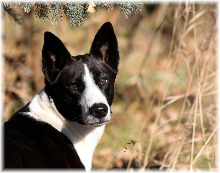 Black and white Canaan Dog | Non-Basenji breeds I love ...