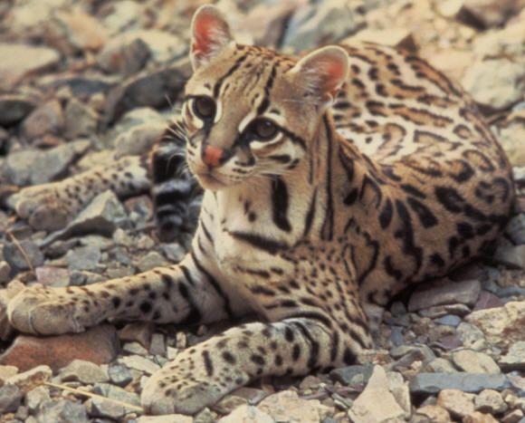Gato-maracajá - Leopardus wiedii