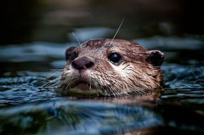 River Otters 7 by ~CharlesWb on deviantART