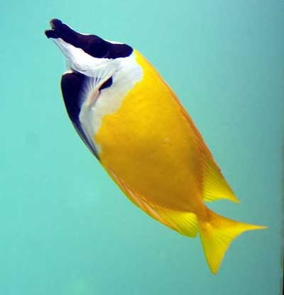 Foxface rabbitfish. One of my favorite fish species!