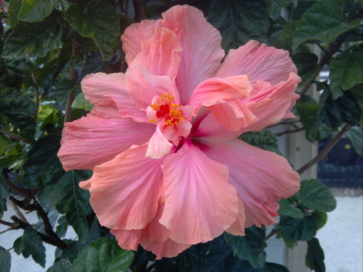 Double Peach Hibiscus, Great Patio Plant For Chicago.