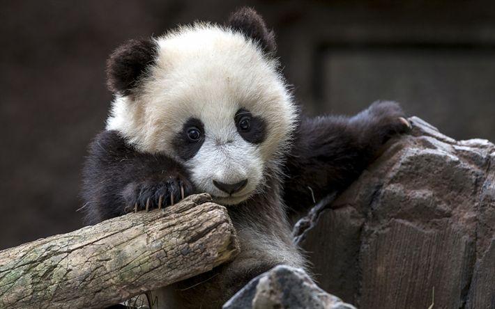 Download wallpapers panda, cute animals, bears, funny animals, pandas, cute panda