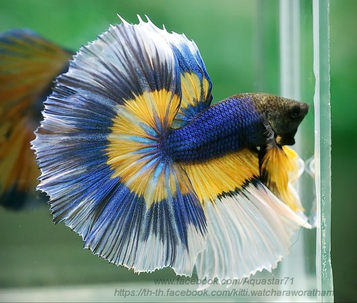 Blue and yellow fancy