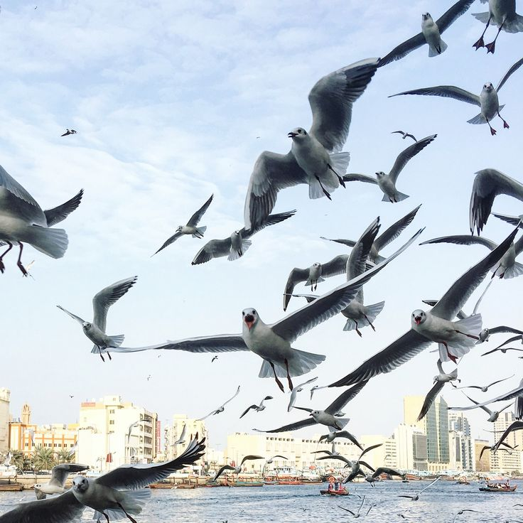 Love how these seagulls kind of speak to me and tell me that each of us have our own wings. All we gotta do is spread them and fly. 😊 • These seagulls are all over Dubai especially now that the weather's favorable. This was taken in #DubaiCreek. It's my first time to see a huge flock of them up close. They apparently love breads and pakora! 😁 • #Dubai #MyDubai #birds #fly #OldDubai #picsdubai