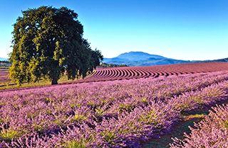 Bridestowe Lavender Farm, Northern Tasmania Field of lavender