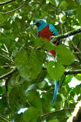 Quetzal in Volcan, Panama – I do recommend Volcan (in Chiriquí Province, about 5 hours away from Coronado) as one of the best places in the world for bird watching.
