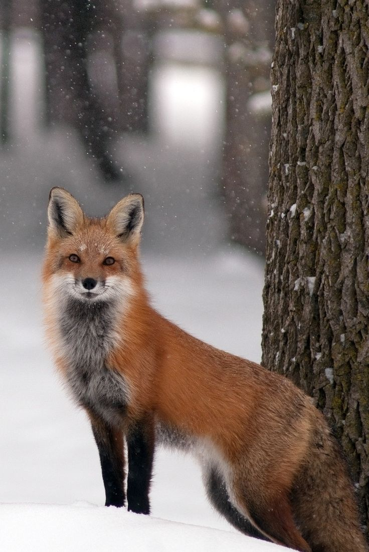 "heaven-ly-mind: "" Renard Roux - Red Fox by jelrdan on 500px """