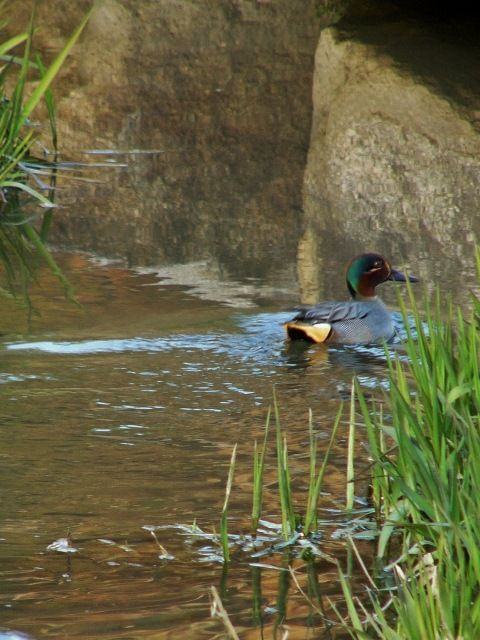 common teal : コガモ