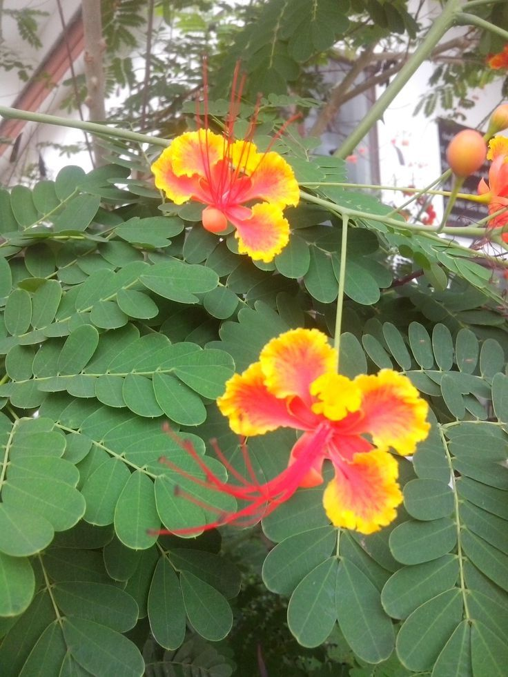 44 best flowers of my paradise hawaii images on pinterest we called it bird of paradise tree mightylinksfo