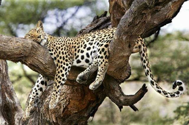 Perché un felino che dorme? ! perché la notte è il giusto momento per ritrovare le energie…..il nostro più grande felino interiore : LA FORZA :D E allora viviamola bella questa notte…..così saremo più...