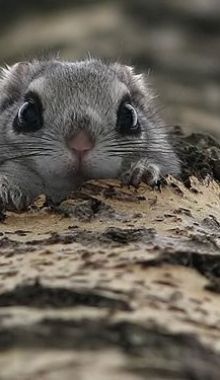 Peekaboo! Japanese flying squirrel