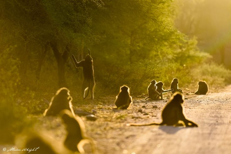 Kruger National Park Monkeys - Photo by Adrian Wright