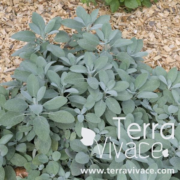Sauge officinale (Salvia officinalis) : La sauge officinale est une vivace aromatique et condimentaire au port buissonnant. Le feuillage persistant et très odorant est formé de feuilles douces, oblongues et d'une couleur caractéristique vert de gris.