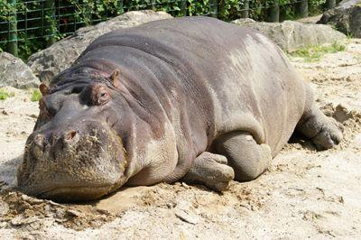 hippo - Google Search