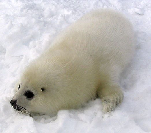 1000+ images about Harp seals sooooo cute on Pinterest ...