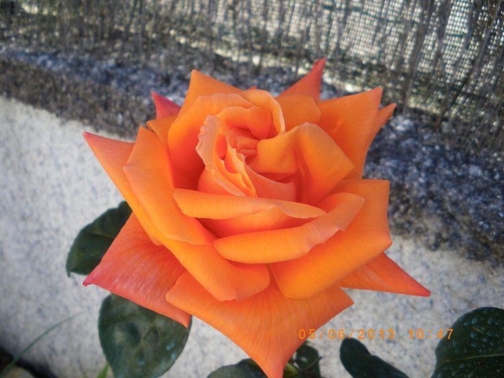 Las Rosas inglesas son la combinación perfecta