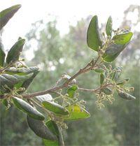 Boldo - Le boldo est une plante médicinale du foie, elle stimule la fonction hépatique et les sécrétions biliaires. Le boldo possède des propriétés thérapeutiques efficaces dans les congestions et la cirrhose, les constipations et les ulcères. Il est bénéfique dans les cystites et agit en relaxant les... https://www.complements-alimentaires.co/wp-content/uploads/2012/07/boldo_peumus_boldus.jpg - Par Nathalie sur Compléments alimentaires  #Lesplantesdelafamilledesm