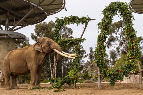 Ranchipur celebrated his 50th today, making him the 4th oldest male elephant in the western hemisphere. Happy birthday big guy!