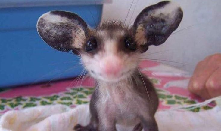 Cute and smiling possums 12 images in 2020 baby