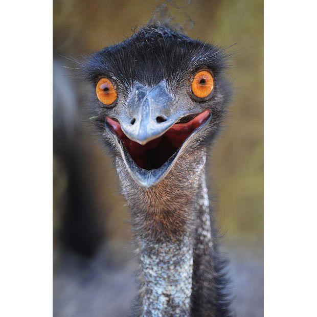 22 Best Emus Images On Pinterest Emu Animal Paintings