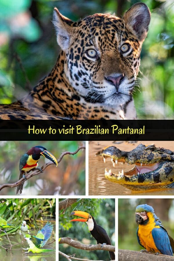 Where To See Wild Jaguars In The Pantanal Brazil South America Travel Itinerary South America Travel Destinations Pantanal