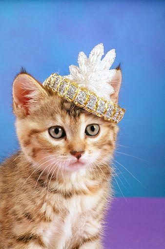 Kitten full of power wearing Power Tiara