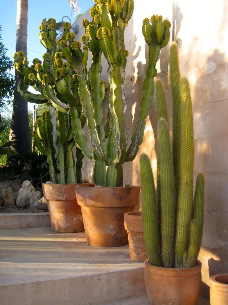 Adorable cactuses in the terracotta pots <3