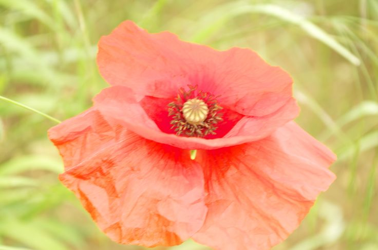 Open Red Poppy