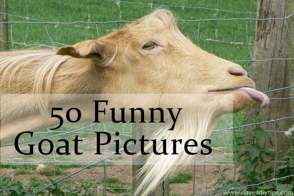 Funny Pictures Of Goats The 25+ best Fu...