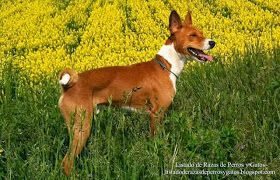 Fotografía de un perro Basenji (Terrier del Congo) jugando en una pradera. Aspecto físico. Raza de perros (Photograph of a Basenji dog playing in a meadow. Physical appearance. Breed of dogs)