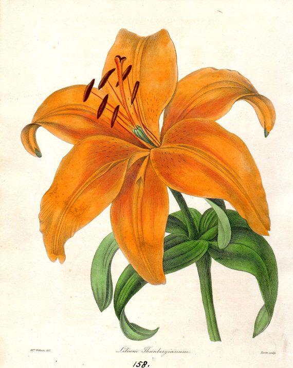 1840 Rare Antique Botanical print Lily Flower Home Decor Maund Botanist