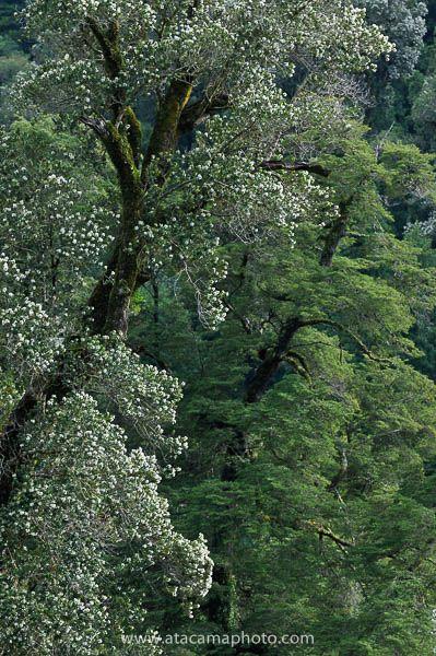 Ulmo tree (Eucryphia cordifolia) blooming