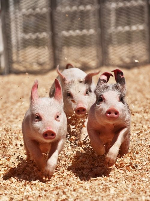 Dinner!! Oh boy, oh boy, oh boy....Piglets, Three Little Pigs, Racing, Farms, Pets, Dinner Time, Baby Pigs, Baby Animal, Piggies